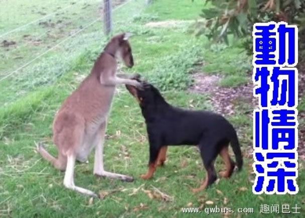 袋鼠狂摸狗狗的头