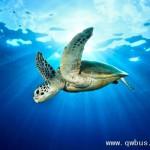 南太平洋发现荧光玳瑁:爬行动物首例