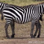 搞笑瞬间:摄影师拍到神奇双头斑马