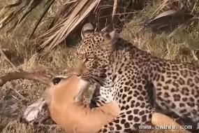 狒狒吓跑花豹救下高角羚