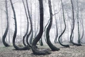 波兰弯曲森林:树木朝一个方向弯好似被施魔法