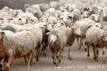 惨了:空运的绵羊集体放屁导致飞机迫降
