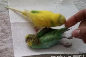 鹦鹉不愿离开死去的伙伴 努力要将其唤醒