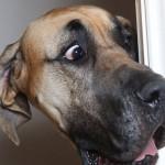 大丹犬身高1.8米却是天生胆小鬼:都被小狗吓尿了