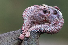 火鸡掐架互咬嘴巴场面搞笑
