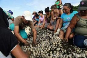 数十万海龟蜂拥至哥斯达黎加海滩产卵 原住民出售茶叶龟蛋
