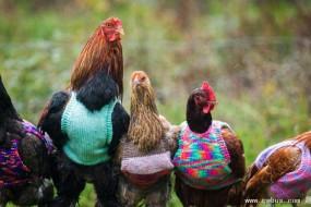 天太冷 连母鸡都穿上毛背心了