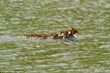 鸭妈妈驮小鸭列队过河
