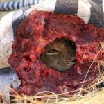 狡猾母狮埋伏在斑马尸体中窥视