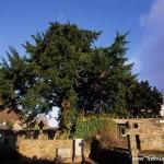 5000年树龄雄红豆杉突然变性结果