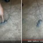 巴西囚犯太狡诈 竟训练老鼠贩毒