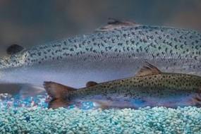 转基因鲑鱼将在美国上市