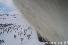 野生驯鹿带项圈相机拍鹿群活动