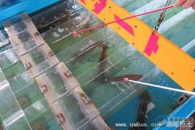 日本海鲜店流行乌贼赛跑
