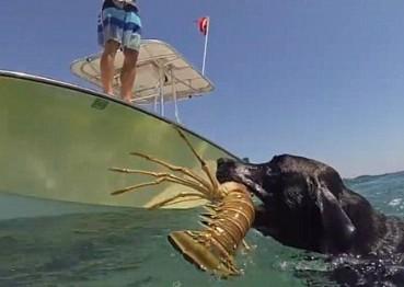 这只狗太能干 会潜水帮主人抓龙虾