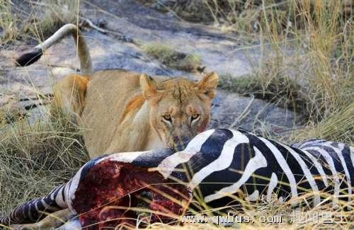 非洲母狮藏身动物死尸中