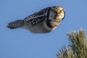 猫头鹰飞起来就是真实版愤怒的小鸟
