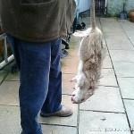 英恐怖巨鼠吃完鼠药长得更大 或已变异