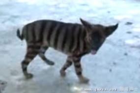 泰国发现奇怪小动物:毛象老虎 叫声像狗