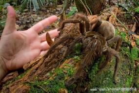 最大蜘蛛——南美巨人食鸟蛛走路发出马蹄声