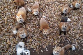 几百只狐狸才是这个村的主人