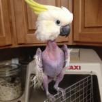 这鹦鹉太孤独把自己羽毛都拔光了