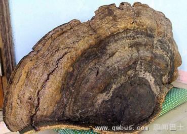 越南发现千年灵芝重达140斤
