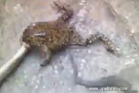 蟾蜍逆袭吞食1米长蛇