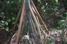 会走路的神奇大树 每年移动20米