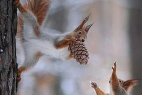 可爱的松鼠与同伴分享松果