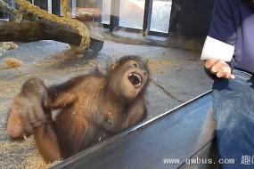 大猩猩看魔术被逗的笑翻了
