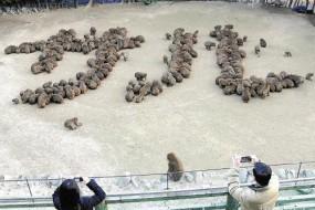 真听话!日本猴群组字迎猴年