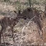 母猎豹与幼黑斑羚玩耍:猛兽也会嘴下留情?