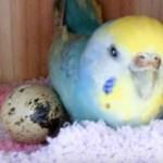 鹦鹉跨越种族的母爱:孵出一只小鹌鹑