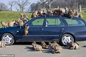印度泼猴发动公交车引发交通事故