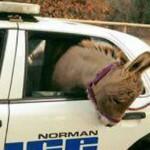 毛驴出逃被抓回 躲警车后座羞于见人