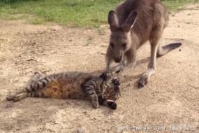 猫咪被热情袋鼠洗脸:笨手笨脚的受不了你
