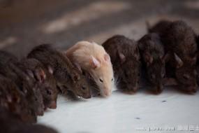 印度老鼠神庙:这里的耗子备受尊重