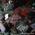 南极现大量变异巨型蜘蛛