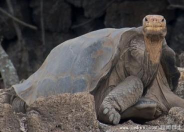 科学家发现孤独乔治的表亲 灭绝象龟将复活