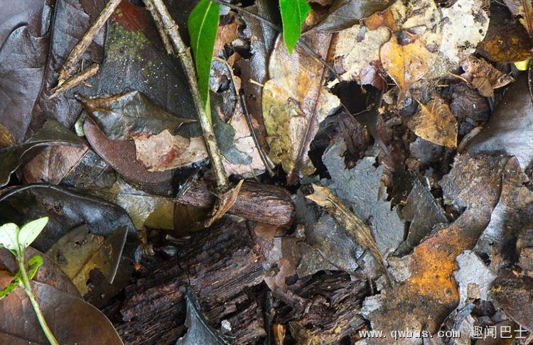趣闻 ] 每天与您分享各种有趣、神奇、精彩、逆天、搞笑的奇闻逸事...... 物竞天择,适者生存。在自然界中,动物为求生存,要么会飞,要么会逃,要么会隐身。英国伦敦20岁的生物学学生山姆罗利(Sam Rowley)2014年夏天在马达加斯加岛上捕捉到一些动物隐身在自然环境中的照片,让人不得不叹服动物的高超隐形术。 照片中,马达加斯加夜鹰站在一棵古树下,与地上浓密的树叶融为一体,甚至让人不敢相信自己的眼睛。树叶还是变色龙?真是无处可寻!