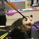 可怜小负鼠身中数箭 头被射穿疼的哇哇叫