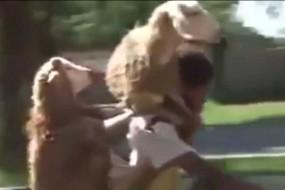 山羊劫持男子搭便车 搞笑视频爆红