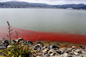新西兰海滩一片红 近看原来都是小龙虾