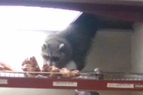 贪吃浣熊从超市天花板空降偷甜甜圈