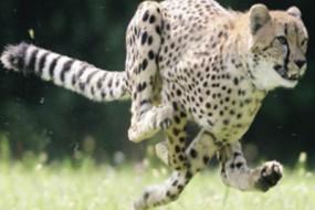猎豹萨拉被安乐死 保持哺乳动物速度记录