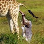 长颈鹿生宝宝头先着地被摄影师记录