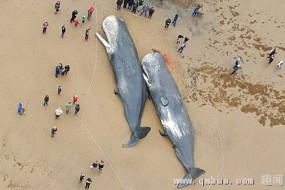 4头抹香鲸尸体现身英海岸