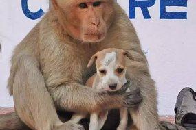 印度猴收养一只流浪小狗 打跑其他来骚扰流浪狗