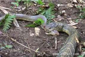 眼镜王蛇吃射毒眼镜蛇 丛林高手对决